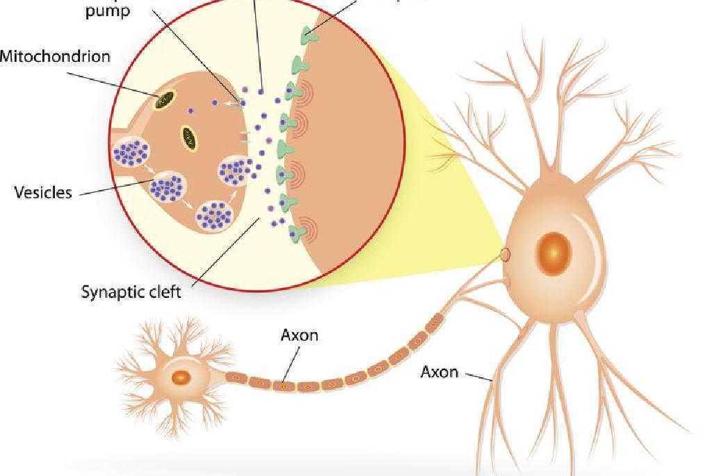 EFECTELE ADDERALL ASUPRA CREIERULUI: SIMPTOME PE TERMEN SCURT ȘI PE TERMEN LUNG - SĂNĂTATE -